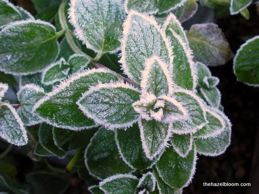 Frosty peppermint