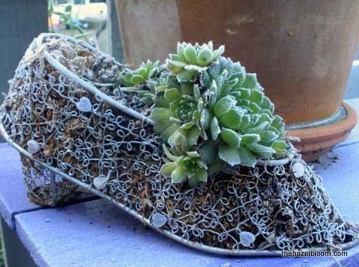 Hens and chicks in a shoe